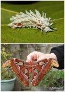 成虫与蝶的大对比――破茧成蝶